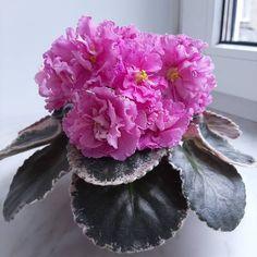 #RussianViolet#AVSA #AfricanVioletSocietyOfAmerica #AfricanViolet #IndoorPlant #Houseplant #saintpaulia #senpolia #AfricanVioletLovers #fialka #AfricanViolet #IndoorPlant #Houseplant #saintpaulia #senpolia #flowers #bloom #blooms #fialki #fialka #flowerpower #AfricanVioletLovers  #AfricanVioletBlooming #AfricanVioletMania #flowersagram #AfricanVioletsOfInstagram #flowerstagram #FlowersOfInststagram