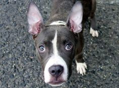 SAFE 8/14/13 Brooklyn Center  MAXX A0974348  MALE GRAY/WHITE PIT BULL MIX 1yr/6mos he's also a charmer, seeking and accepting affection whenever possible. ***Average Safer*** Cute , young Maxx is at the Brooklyn shelter and needs our help! Please share to find a foster or adopter tonight because tomorrow will be to late for Maxx.