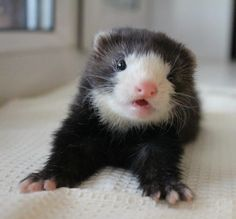 """""""It's not a rat it's a ferret"""" 💩💩💩💩💩💩💩💩 🇮🇹❤😊 Ferrets Care, Baby Ferrets, Funny Ferrets, Pet Ferret, Cute Little Animals, Cute Funny Animals, Cute Creatures, Exotic Pets, Animal Memes"""