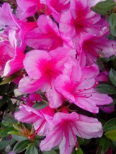 Biflora flowers