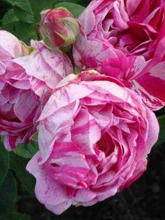 'Honorine de Brabant' (1840/50) - AGM 2012. Bourbonroos. Dubbele zachtroze bloemen (8cm) met paarse strepen. Zeer geurend. Matig resistent. 180cm x 120cm.