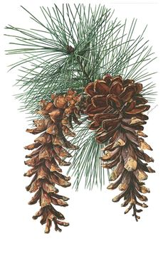 1960 Vintage Botanical Print Pinus strobus Eastern by Craftissimo Vintage Botanical Prints, Botanical Drawings, Botanical Art, Vintage Prints, Botany Illustration, Illustration Botanique, Carta Restaurant, Historia Natural, Christmas Art