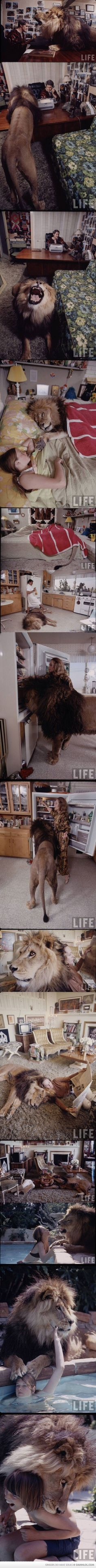 Living with a lion (click on image to see full)