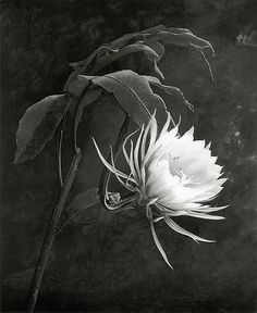 Queen of the Night    DeCosse, Cy, b.1929  21st Journal of Contemporary Photography Vol. II, 1999  17.2 x 22 cm  Photogravure