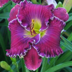 Daylily 'Elrond's Ring'
