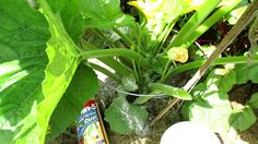 How to Use Sevin Dust to Control Squash Bugs