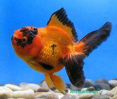 i have had many goldfish: ronald mcdonald, Ricky, Atila the Hun, Seaweed, Rachel, Leah,   Kerplunk, Uno