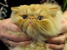 razas de gatos - Buscar con Google