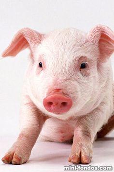 Resultados de la Búsqueda de imágenes de Google de http://www.mini-fondos.com/fondos/animales/320x480/piggies_03.jpg
