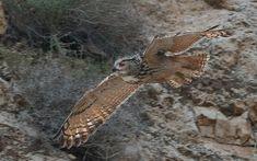 Pharaoh Eagle Owl (Bubo ascalaphus) in flight. Photo by Assaf Gavra.