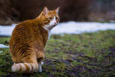 Katze, Sibirische, Orange, Tier, Katzen, Häuslich