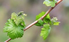 Réva tvoří mnoho listů Rv, Herbs, Plants, Motorhome, Herb, Plant, Camper, Planets, Medicinal Plants