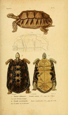v.3 [Atlas] - Erpétologie générale, ou, Histoire naturelle complète des reptiles - Biodiversity Heritage Library