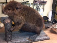 Taxidermied Beaver, I like this pose for the beaver in our freezer...