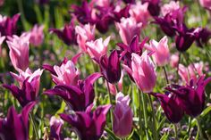 Spring Combination Ideas, Bulb Combinations, Plant Combinations, Flowerbeds Ideas, Spring Borders,Tulip Burgundy, Tulip China Pink, Lily Flowered tulips,Lily Flowering tulips,Tulipa Burgundy, Tulipa China Pink