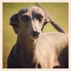 Salatino Questa E La Chiesina PLI #dog #salatino #clubesalatino #canil #perro #dogs #cute #love #nature #animales #dog #ilovemydog #ilovemypet #cute #galgos #greyhound #galgoespanhol #galgo