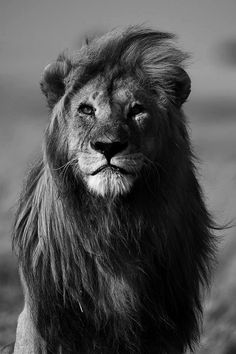 Black and White African Lions | photography Black and White beautiful photo face best nature lion ...