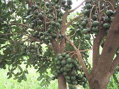 noz macadamia- macadamia integrifolia
