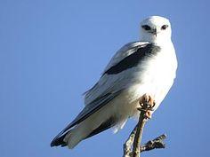 black shouldered kite - Google Search  2-15-13