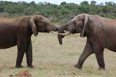Random by Christoff P. Vosloo, via Behance Elephant, Behance, Random, Pictures, Animals, Photos, Animales, Animaux, Elephants