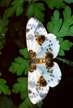 "Clouded Magpie (abraxas sylvata) ~ Miks' Pics ""Butterflies and Moths l"" board @ http://www.pinterest.com/msmgish/butterflies-and-moths-l/"