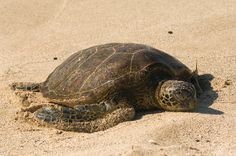 You can get close enough to take some really good pictures of the honu (turtle) | Four Seasons Hualalai