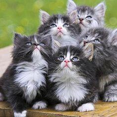 #Cats #Cat #Kittens #Kitten #Kitty #Pets #Pet #Meow #Moe #CuteCats #CuteCat #CuteKittens #CuteKitten #MeowMoe Five cuties to cuddle! ... http://www.meowmoe.com/41796/