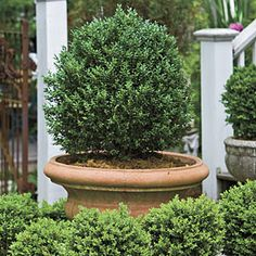 Boxwoods    Mix varieties of the same plant. Dwarf English boxwoods growing in the ground surround a terra-cotta pot planted with an American boxwood.