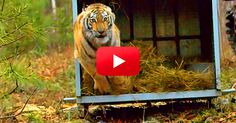 Must Watch — Tale of Cinderella - Endangered Amur Tiger Released into the Wild! | The Animal Rescue Site Blog