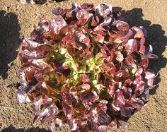 Red oakleaf lettuce Navara is compact and upright triple red oakleaf. Lettuce Seeds, Red Leaves, Agriculture, Vegetables, Vegetable Recipes, Veggies