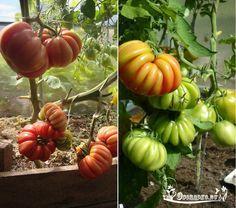 """Лучшие сорта помидор для открытого грунта - какие самые ранние, самые урожайные, лучшие помидоры для консервации и устойчивые к фитофторе. Томаты """"Грибное лукошко"""""""