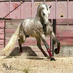 Dapple grey horse running with pretty tail flowing. Beautifully colored Horse.