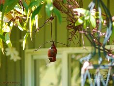 """Hummingbirds enter a state called """"torpor"""" at night, which is a little like hibernation. Sometimes they loosen their grip on a branch, and end up hanging upside down - but still asleep!"""