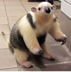 Let's go really exotic, a baby tamandua! (A Madagascar anteater) Interesting Animals, Unusual Animals, Beautiful Creatures, Animals Beautiful, Cute Baby Animals, Funny Animals, Armadillo, Giant Anteater, Mundo Animal