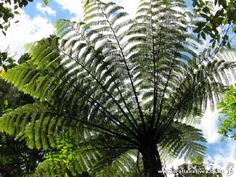 Cyathea medullaris (Mamaku) - Hardy, fast growing tree fern with long fronds. Largest tree fern, often establishing on slips, bare earth and stream sides. Tree Fern, Fast Growing Trees, Plant Nursery, Native Plants, Ferns, New Zealand, Nativity, Plant Leaves, Earth