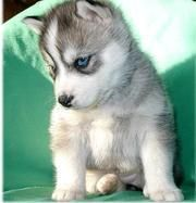 Grey Siberian Husky Puppy With Blue Eyes