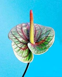 anthurium. unknown variets