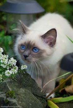 5 Amazing kittens with blue eyes The Pet's Planet