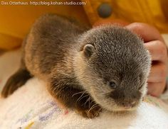 I want an otter!