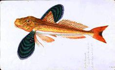 flying fish