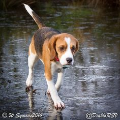 Clever beagle walking on water