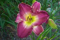 "Collector's Choice---6"" bl. 28"" tall---raisin plum self--  early to mid bloom season---$8.00 df"
