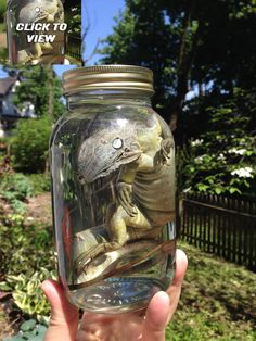 Hey, I found this really awesome Etsy listing at https://www.etsy.com/listing/189937080/iguana-in-a-jar-preserved-wet-specimen