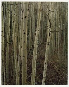 Aspens in Early Spring, New Mexico, 1953, Eliot Porter