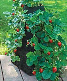 Look at this #zulilyfind! Garden Pyramid Grow Tub & Strawberry Root Set #zulilyfinds