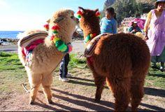 Baby Alpacas at Lake Titicaca, alpacas have 29 natural colors