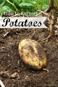 how to grow potatoes in bags and containers at home
