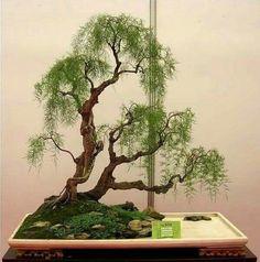 #bonsaitrees