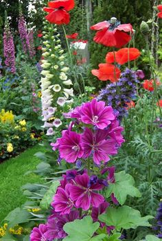 Hollyhocks, poppies and foxglove