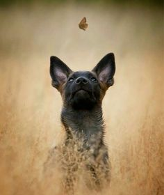 26 Signs that Show How Your Belgian Malinois Will Doom Your Life - Art - Hunde bilder Beautiful Dogs, Animals Beautiful, Cute Animals, Belgian Shepherd, German Shepherd Dogs, I Love Dogs, Cute Dogs, Belgian Malinois Puppies, Berger Malinois
